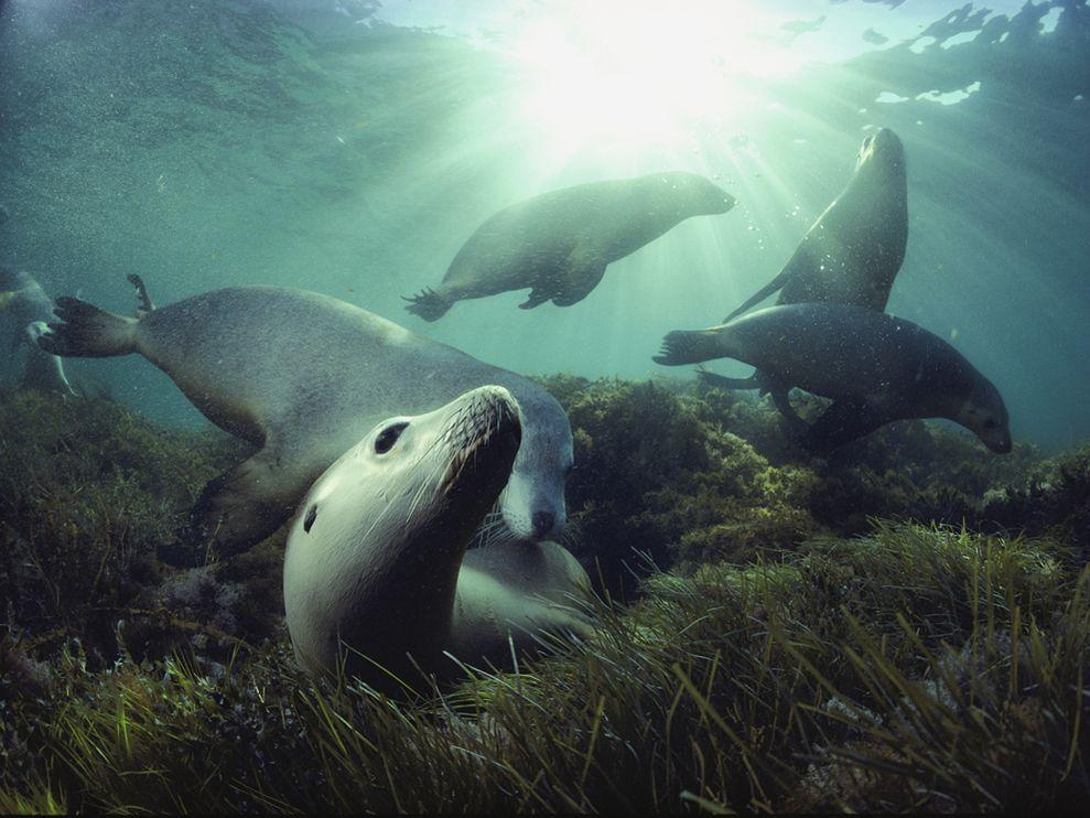 australian-sea-lions_1319_990x742