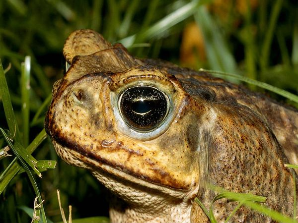 cane-toad_488_600x450