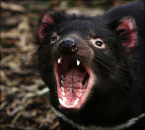 tasmanian-devil_736_600x450