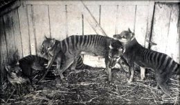 Tasmanian Tiger was genetically doomed.