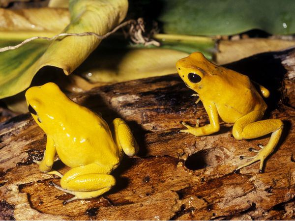 golden-poison-arrow-frog_5842_600x450