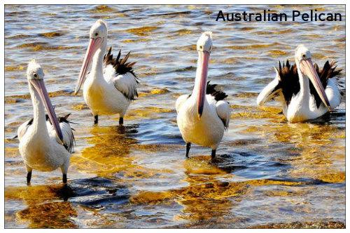 pelicans_0