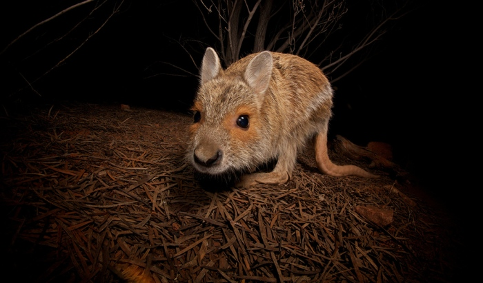 spectacled-hare-wallaby