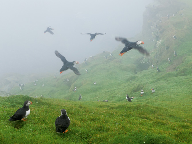 07-puffin-controlled-fog-swept-cliffs-670