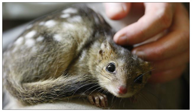 647941-northern-quoll