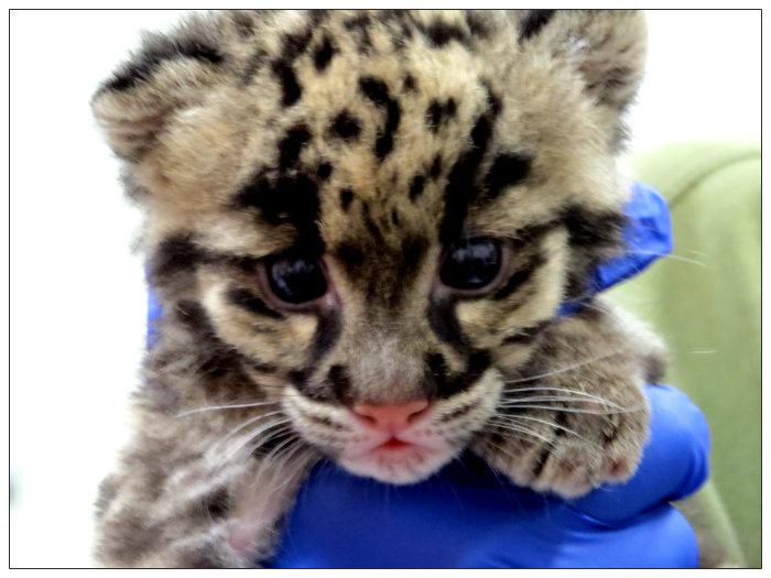 clouded-leopard-cub