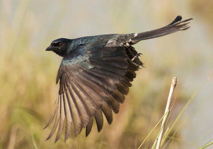 drongo-bird-impersonate-01_79253_990x742