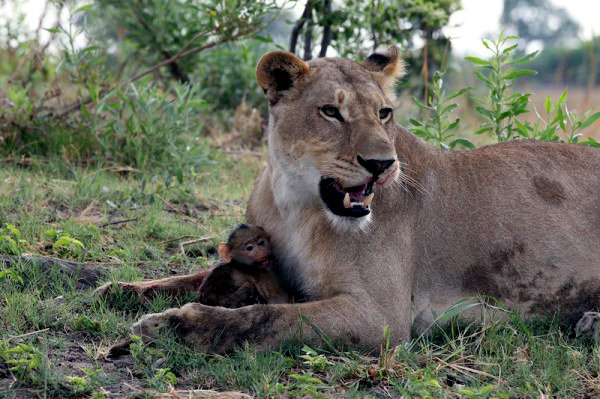 Lion-and-Baboon--600x399