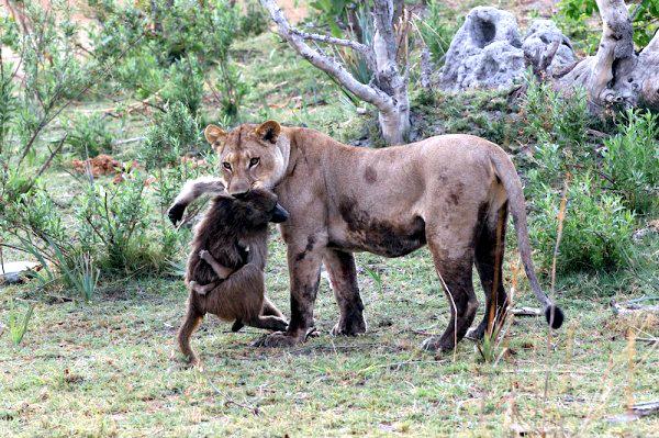 Lion-with-baboon_AH3C9953-1-600x399