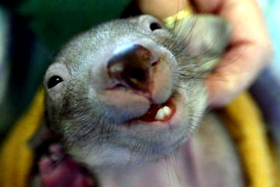 wombat1