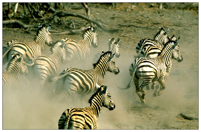 1-migration-zebras-running