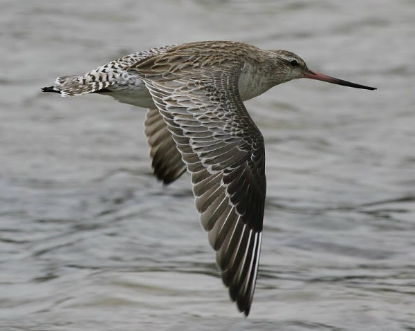 Bar-tailed Godwit_Sydney_101210_IMG_5700