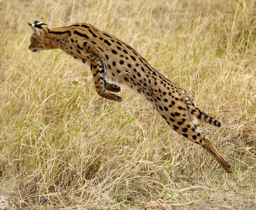 serval_cat_leaps