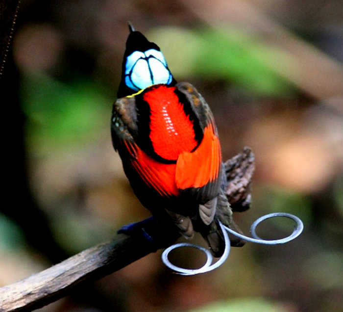 wilsons-bird-of-paradise