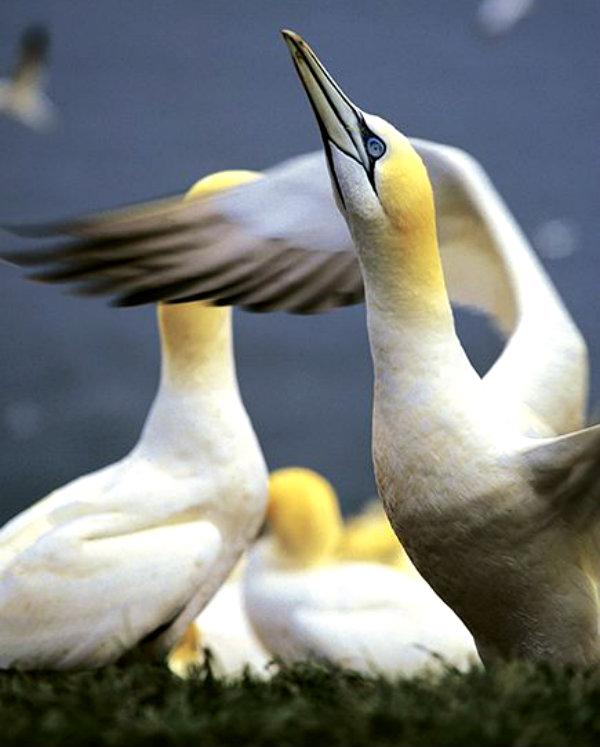 canada-gaspe-gannets_71290_600x450