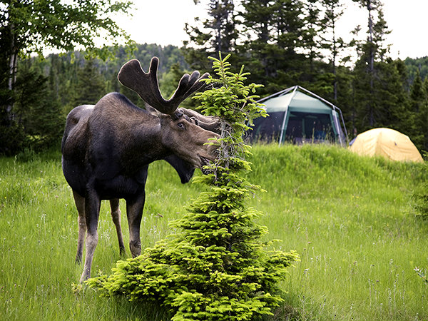 canada-moose-gros-morne_71101_600x450