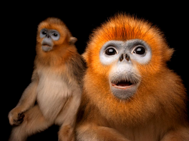 golden-snub-nosed-monkeys-sartore_72059_990x742
