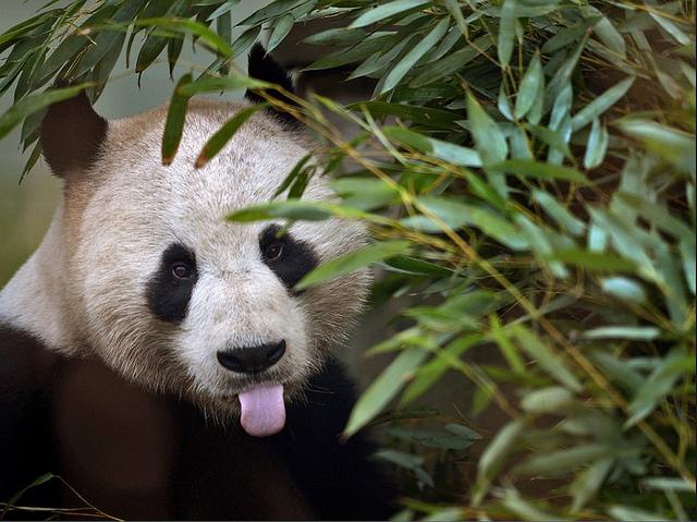 panda-tongue