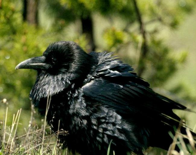 raven_677_600x450