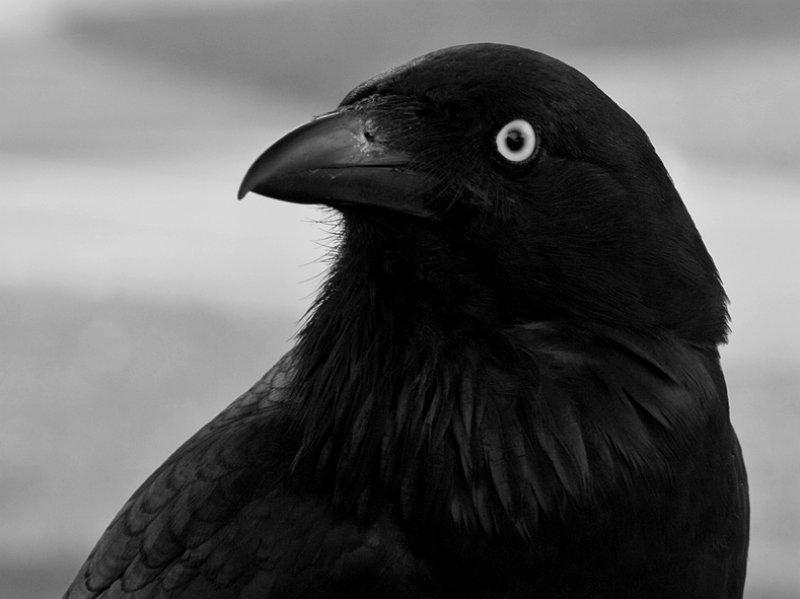 1_Crow_5