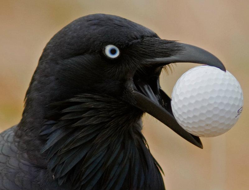 Australian Raven and Golf Ball IMG_6261