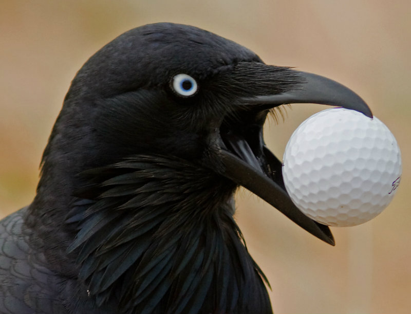 Australian Raven and Golf Ball IMG_6261