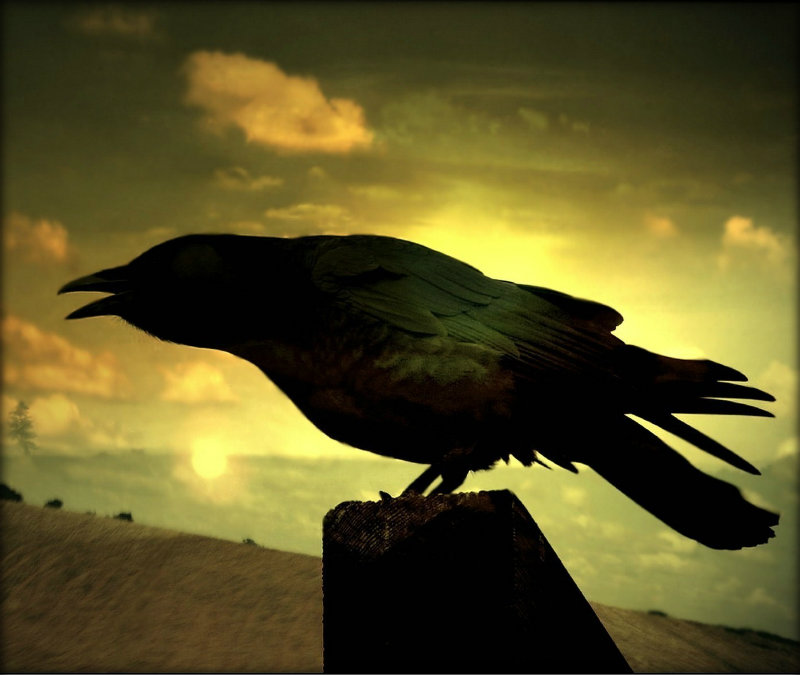 Black_Crow_at_Night
