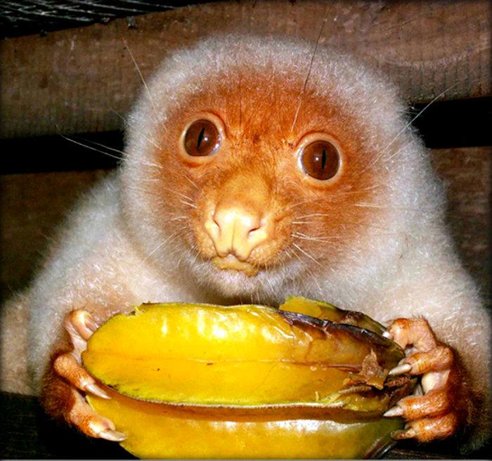 common-spotted-cuscus-marsupial
