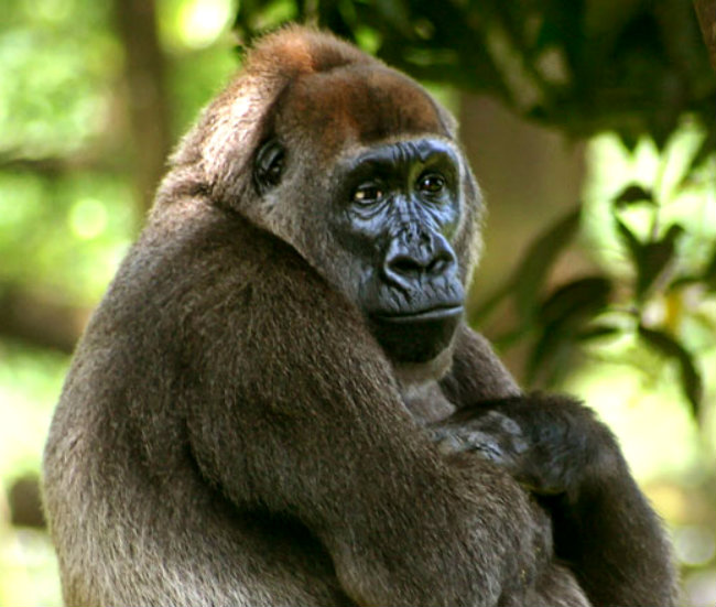 dnews-files-2014-07-Cross-river-gorilla-2014-0730-jpg