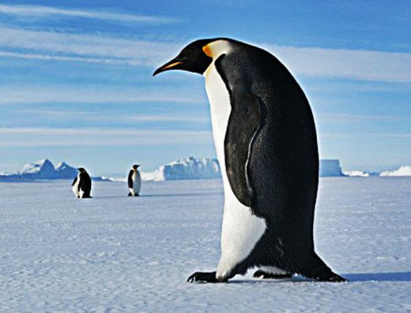 Emperor-Penguin-walking-o-008