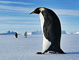 """Extinct Penguin was two metres Tall""."