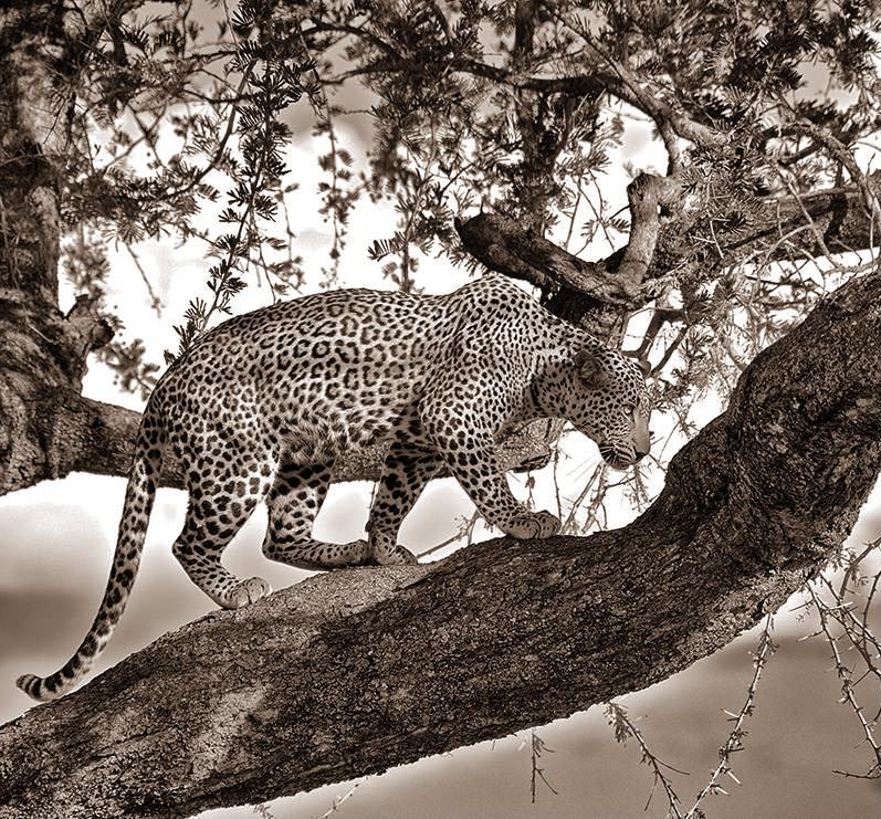 leopard-acacia-tanzania-tarangire_81649_990x742