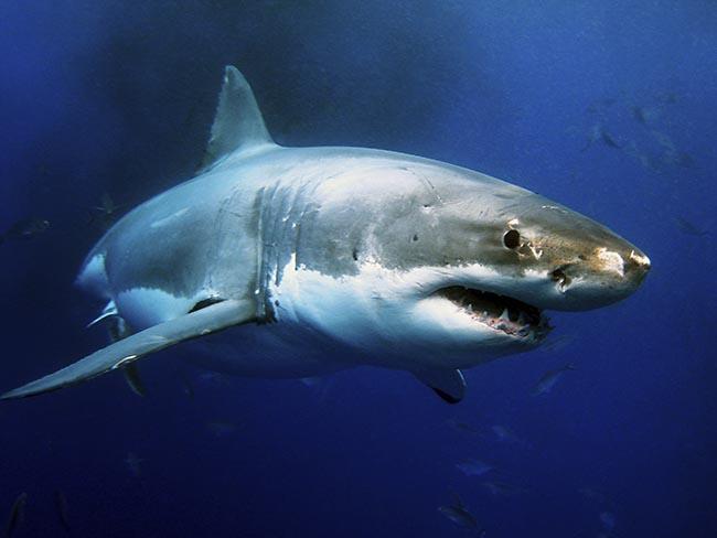 MI+Great+white+shark+getty