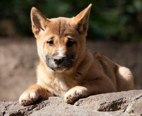 singing-dog-pup