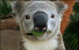 """Koala Selfie"" Wildlife SydneyZoo."