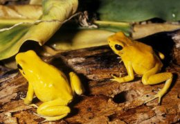 Golden Poison Dart Frogs.