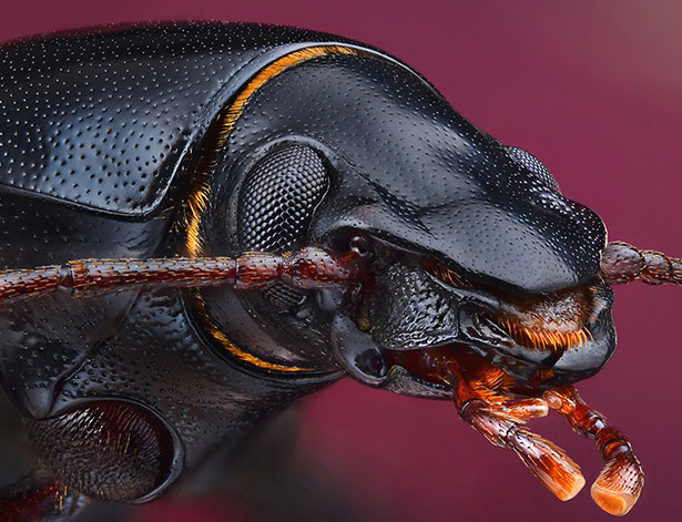 Ground-Beetle_Extreme-Macro-Photography