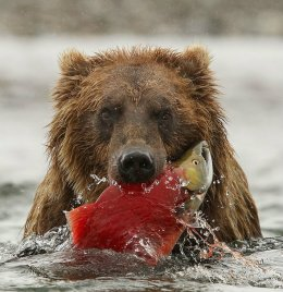 Big Hungry Brown Bear, Alaska.