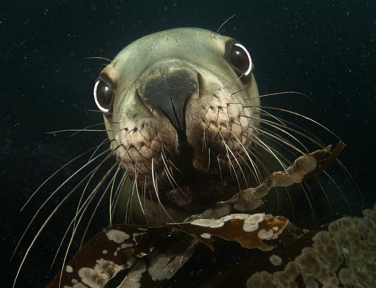 stellar-sea-lion