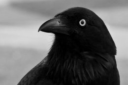 """""""Ravens and Crows areCool""""."""