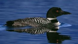 A Common Loon. 'Well, Inever'.