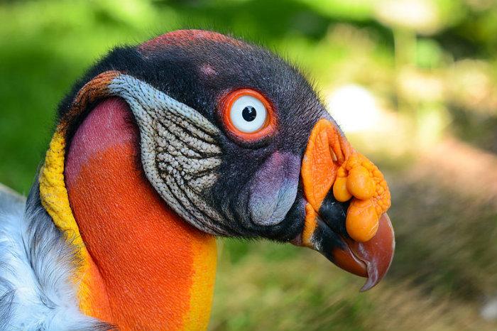 800px-Sarcoramphus_papa_(Königsgeier_-_King_Vulture)_-_Weltvogelpark_Walsrode_2013-01