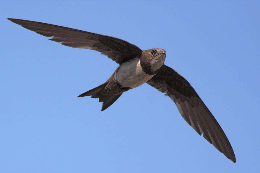 alpine-swift