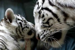 White Bengal Tiger with one of herCubs.