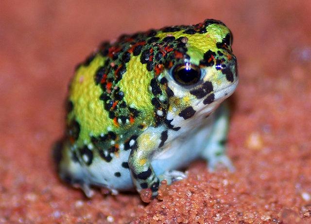 crucifix-frog