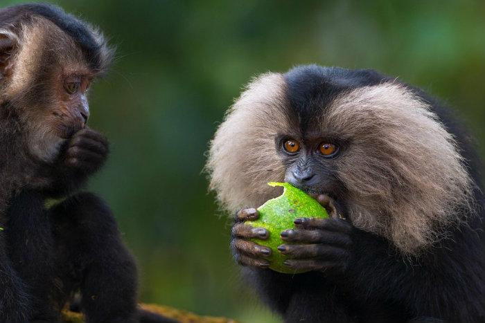 dec14_e11_macaques