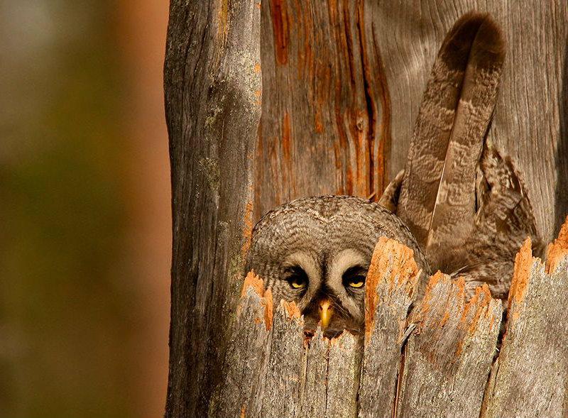 great-gray-owl-nest_74615_990x742