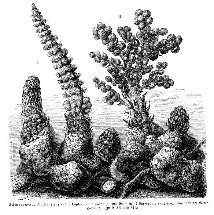 1022px-Lophophytum+Sarcophyte_sp_vMH373