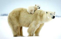 One and a quarter Polar Bears,Canada.