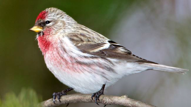 391431_Common-Redpoll